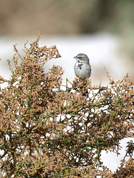 Sagebrush Sparrow, California