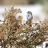 Sagebrush Sparrow, California