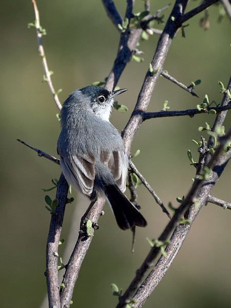 Black-tailed Gnatcatcher, Arizona