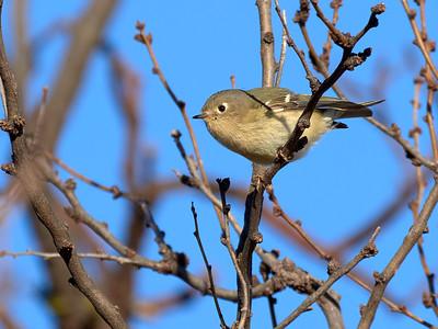 Gray Flycatcher, Texas
