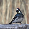 Acorn Woodpecker, Arizona
