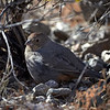 Canyon Towhee, Texas