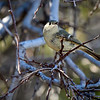 Huttons Vireo, New Mexico