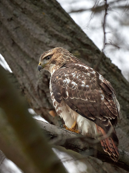 Red-tailed Hawk, Ontario