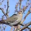 White-winged Dove, New Mexico