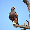 Harris's Hawk, Arizona