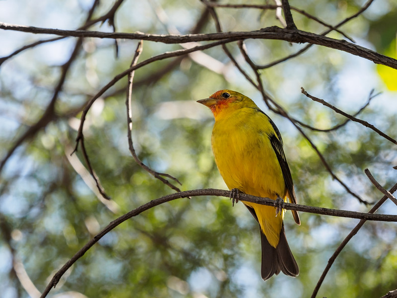 Western Tanager, Arizona