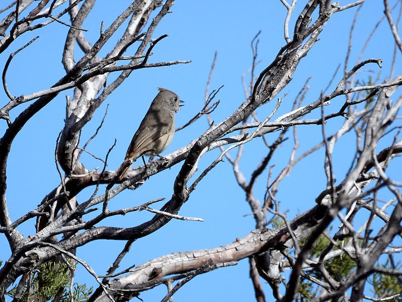 Juniper Titmouse, New Mexico