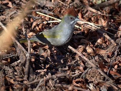 Green-tailed Towhee, Arizona