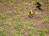 Eastern Meadowlark, Texas