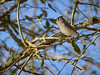 Tufted Titmouse, Texas
