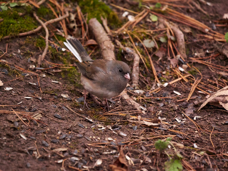 Dark eyed Junco, Oregon