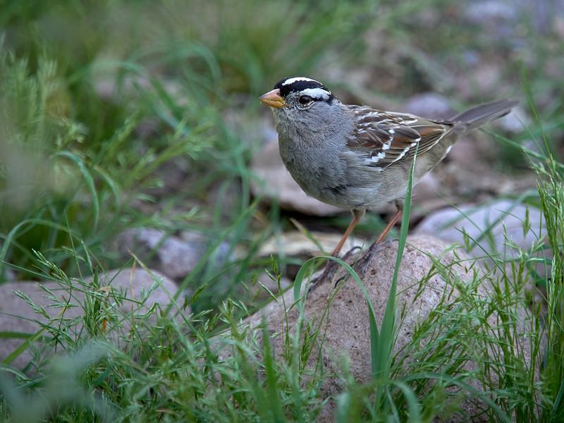 Whitecrowned Sparrow, Arizona