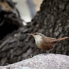 Canyon Wren, Arizona