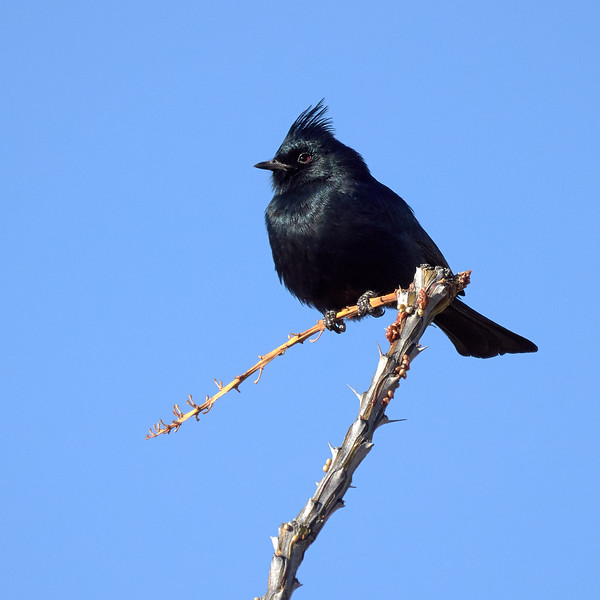 Phainopepla - Male, Arizona