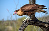 Crested Caracara - Juvenile, Arizona