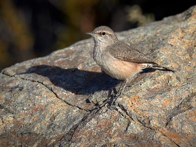 Rock Wren, Arizona
