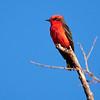 Vermillion Flycatcher, Arizona