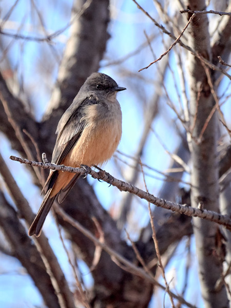 Say's Phoebe, Arizona
