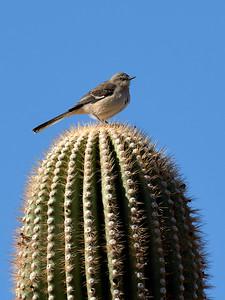 Mockingbird, Arizona