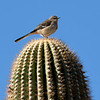 Mockingbird, Arizona