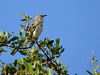 Mockingbird, Florida
