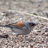 Yellow-eyed Junco, Arizona