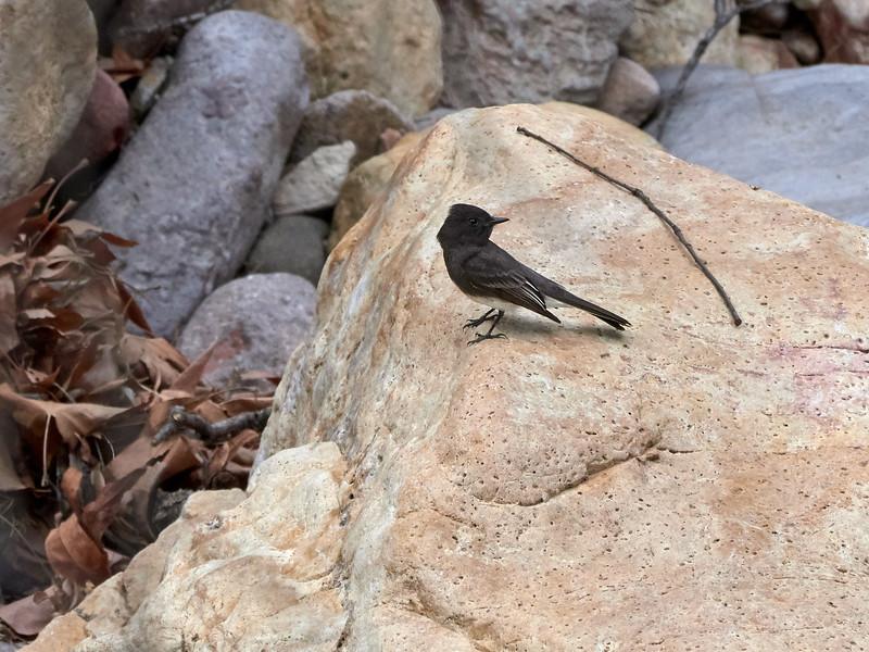 Black Phoebe, Arizona
