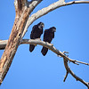 Chihauhaun Ravens, Arizona