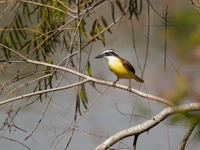 Great Kiskadee, Texas
