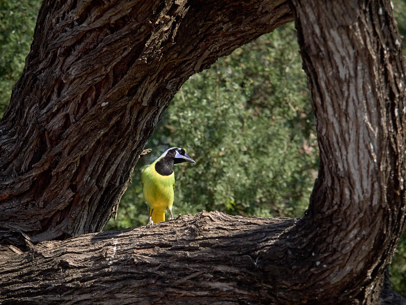 Green Jay, Texas