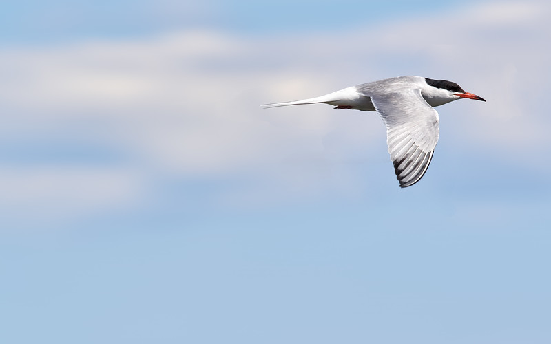 Common Tern, Ontario