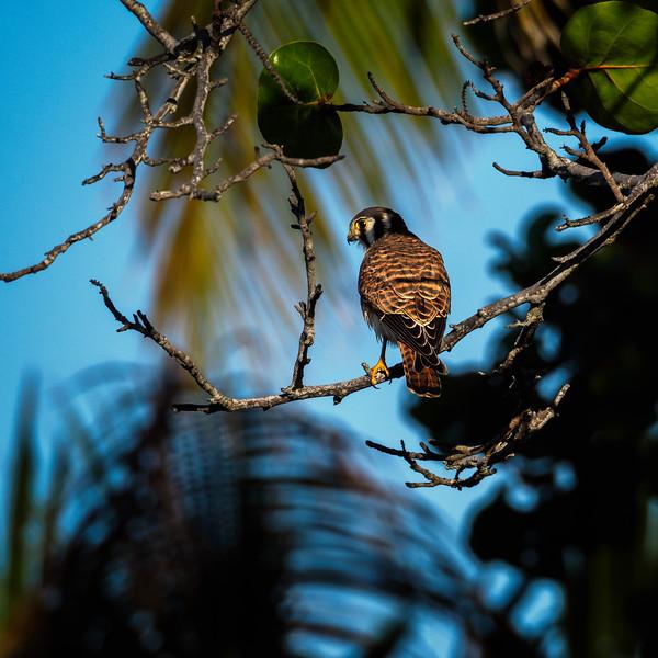 American Kestrel, Florida