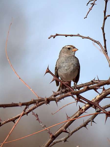 Rufous-crowned Sparrow, New Mexico