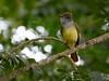 Dusky-capped Flycatcher, Guatemala