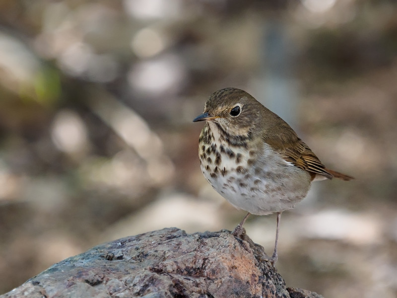 Hermit Thrush, Arizona