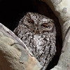 Whiskered Screech-owl, Arizona