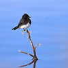 Black Phoebe, Arizona