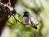 Blackchinned Hummingbird, Arizona