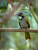 Blackheaded Saltator, Guatemala