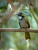 Blackheaded Saltator, Guatemala