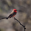 Vermillion Flycatcher, Arizona