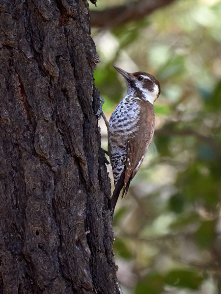 Arizona Woodpecker, Arizona