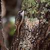 Brown Creeper, Arizona