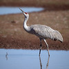 Sandhill Crane, Arizona