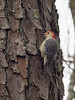 Redbellied Woodpecker, Texas