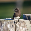 Black Phoebe, California