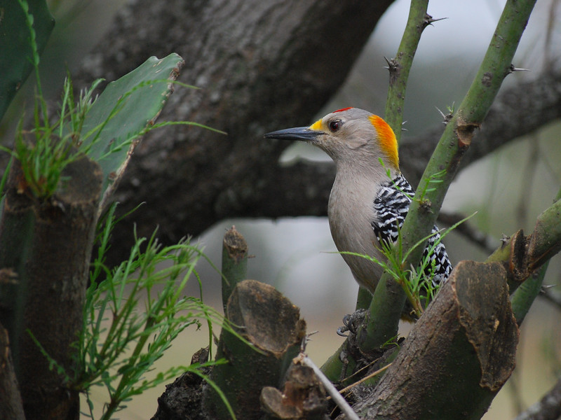 Golden Fronted Woodpecker, Texas