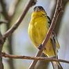 Lesser Goldfinch, Arizona