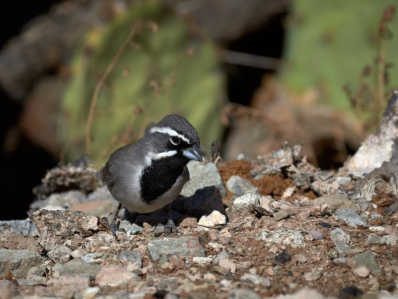 Black-throated Sparrow, Arizona